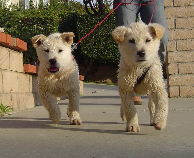 Jindo Appearance Known Mixes
